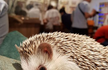 hedgehog-cafe.jpg