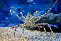 Japanese spider crab moulting