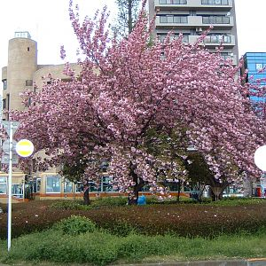 Plum Tree in Front of Train Station