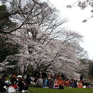 Not-so-ordinary hanami partiers (see group at right)